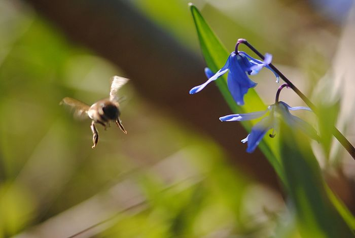 Animal Themes Animal Wildlife Animals In The Wild Beauty In Nature Bee Bee Fly Bee Flying Blue Flowers Buzzing Close-up Day Flower Fragility Freshness Growth Hovering Insect Nature No People One Animal Outdoors Plant Pollination