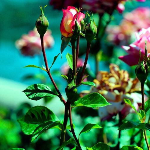 Rose with buds growing outdoors