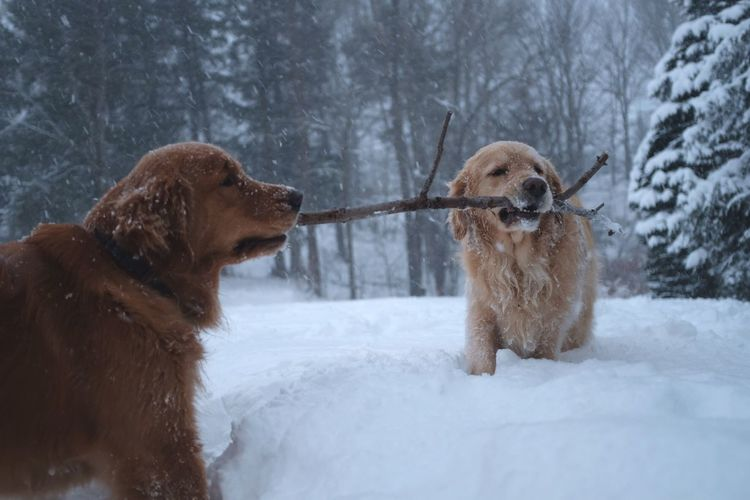 Stick Tug Of War No People Retriever Snowing