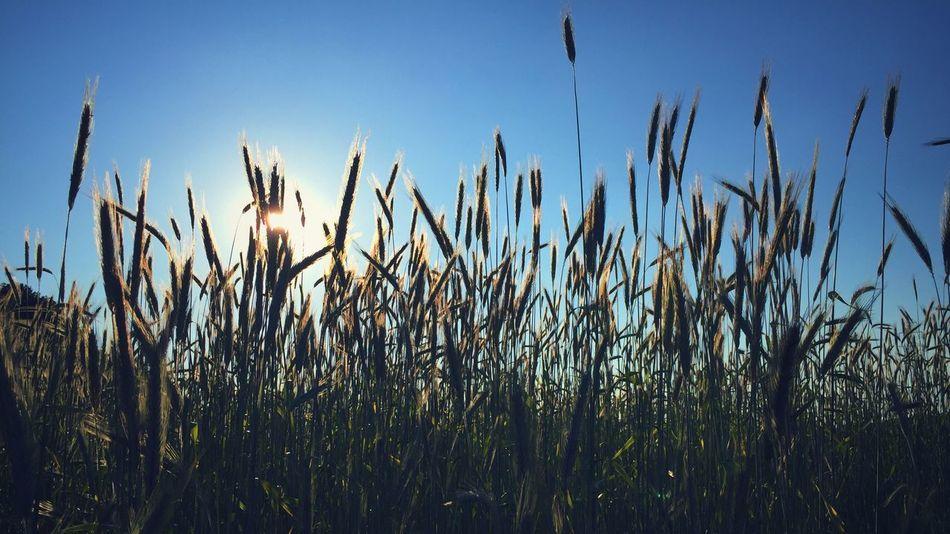 Field Wheat Wheat Field Nature