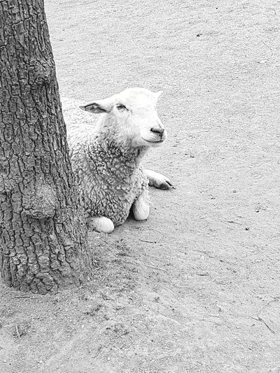 Animal Themes High Angle View Mammal One Animal Domestic Animals Outdoors No People Stockholm Sverige The Portraitist - 2017 EyeEm Awards Stockholmdiaries🇸🇪🇸🇪 Travel Destinations Day Animals In The Wild Nature Sheep Sheep🐑 Sheepworld Schaf  Schäfchen Blackandwhite Black And White EyeEmNewHere