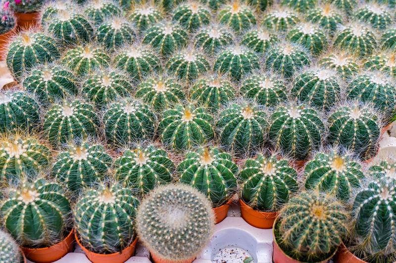 Barrel cactus growing at park