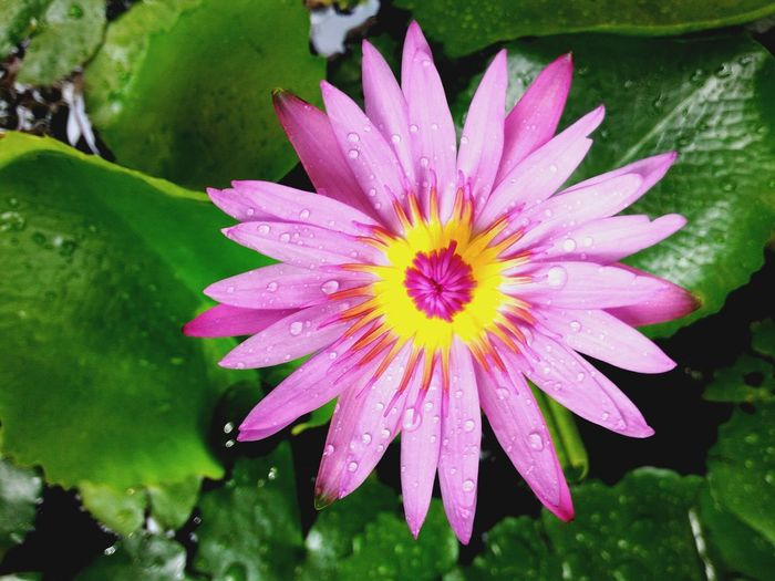Lotus Lotus Flower Flower Beauty In Nature Nature Fragility Freshness Petal Flower Head Growth Water Plant Close-up Outdoors Blooming Lotus Water Lily Purple Pollen No People Day Passion Flower Thailand Bangkok
