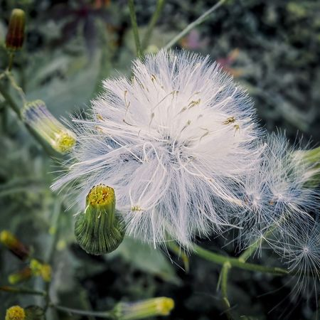 Flower Close-up Dandelion Dandelion Seed Softness In Bloom Botany Blooming