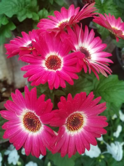 Gerbera Daisy Rose White flowers Gerbera Daisy Rose White Color Spring Summer Daisy Blossoming  Flora Botanical In Bloom Blooming Pure