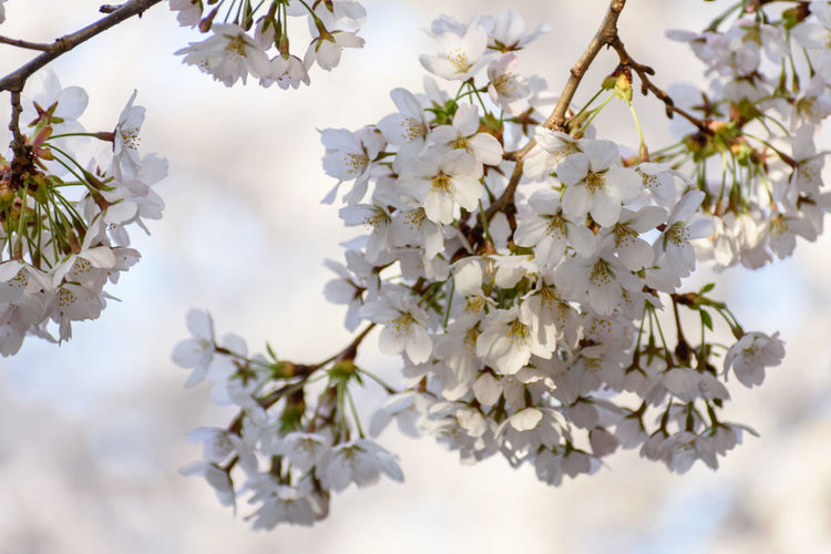 Plant Flowering Plant Flower Beauty In Nature Freshness Vulnerability  Growth Fragility Tree Springtime Blossom Branch Close-up Nature Day No People Twig White Color Focus On Foreground Cherry Blossom Flower Head Outdoors Cherry Tree Bunch Of Flowers Spring