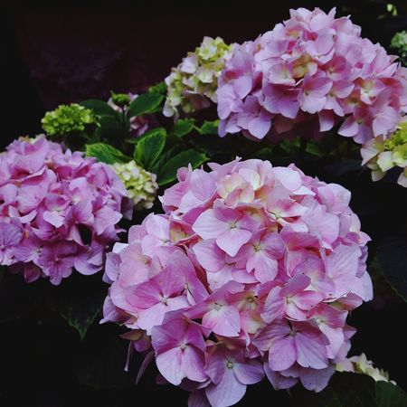 Hydrangeas Flowers,Plants & Garden