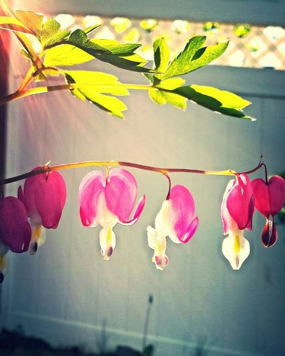 My Best Photo 2015 Bleeding Hearts Pink Flowers Flowers Sunlight Check This Out Flowers,Plants & Garden Macro Beauty EyeEm Best Shots - Flowers EyeEm Best Shots From My Point Of View In My Garden Peaceful Love Floral Perfection Pink Color Pink Dropping Bleeding Heart  Flower Porn Nature Nature Lover Flower Collection Sunshine Flowerporn