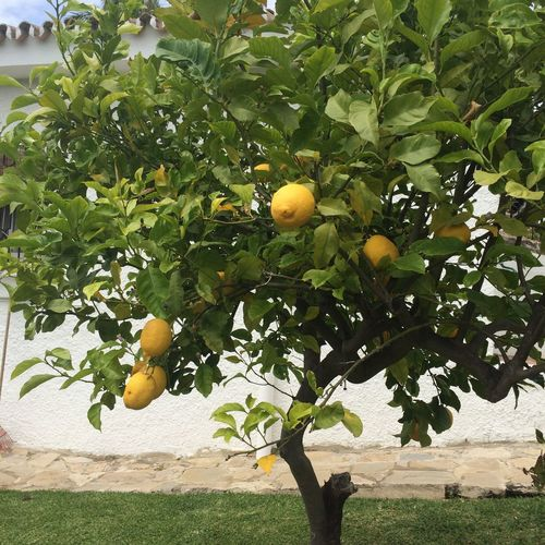 Lemon Tree Fruit New Check This Out Hello World The Things I Love Nature Photography Health Care Lemonade New