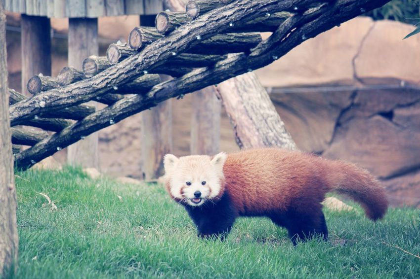 Animals Red Panda Photography