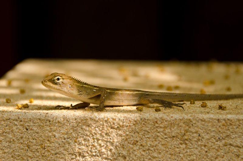 Side View Of A Young Oriental Garden Lizard