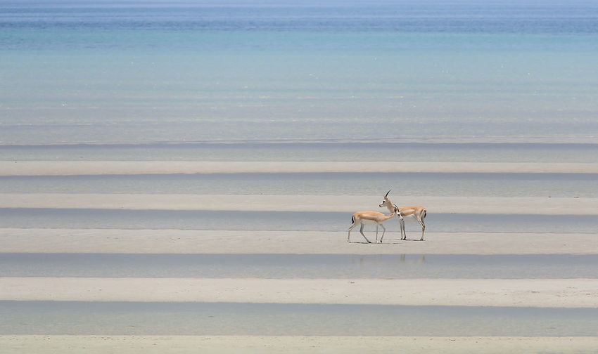deers with sea Deers Sea