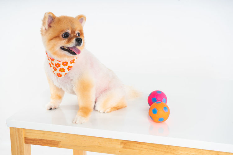 Isolated closeup portrait Pomeranian dog smiling with funny face on the white background. Studio shot of small brown puppy One Animal Mammal Pets Domestic Animals Animal Themes Vertebrate Canine Animal Dog Indoors  Toy Table Sitting Adorable Dog Studio Shot White Background Pomeranian Puppy