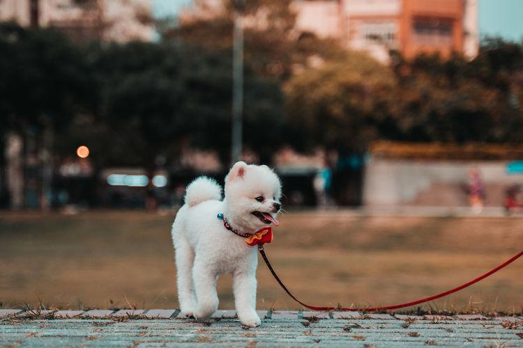 White dog in city