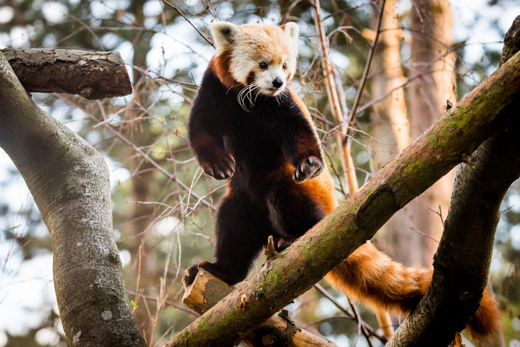 Low Angle View Of Red Panda Standing On Branch