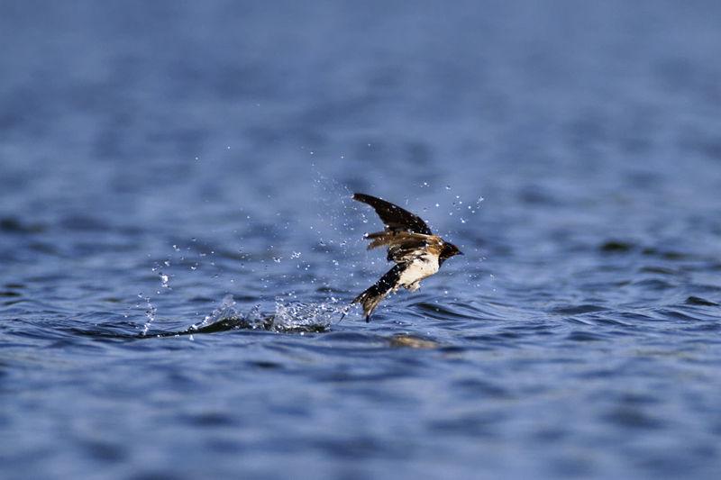The barn swallow taking a bath on a lake soderica, croatia