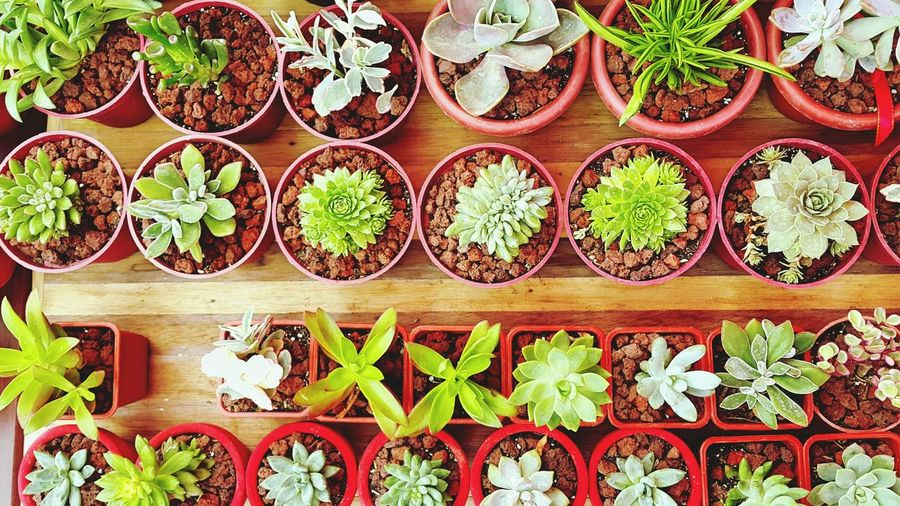 In A Row Order No People Variation Large Group Of Objects Growth Green Color Directly Above Plant Arrangement Indoors  Nature Food Day Freshness Close-up Welcome Weekly Succulents Succulent Plant Succulent Plants Succulentgarden SucculentsLover EyeEmNewHere EyeEmBestEdits EyeEm Best Shots