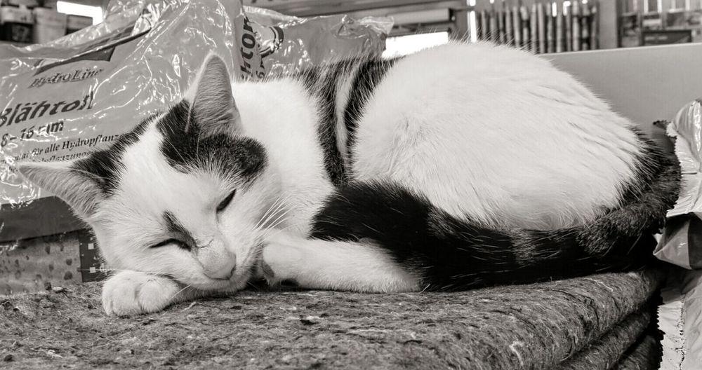 Ladyphotographerofthemonth Cat Cat♡ Sleeping Cat Sleeping Cats Catoftheday Cat Watching Blackandwhitecat Blackandwhite Black And White Animal Themes Animal Portrait Animal Photography EyeEm Best Shots EyeEm Gallery EyeEm Best Shots - Black + White EyeEm Bnw