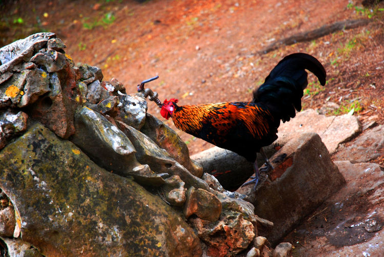 Tilt image of rooster drinking water from faucet
