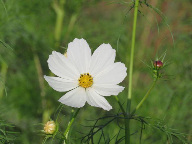 白いコスモス✨ Flower Cosmos Cosmos Flower コスモス 秋桜 花 秋の花
