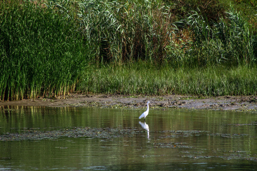 Danube Delta Danube Animal Themes Animal Wildlife Animals In The Wild Beak Beauty In Nature Bird Day Gray Heron Heron Lake Nature No People One Animal Outdoors Plant Reflection River Water Waterway To Sulina