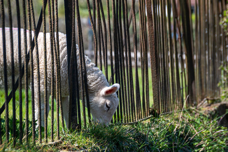 The grass is greener as a lambs squeezes through railings to eat plants
