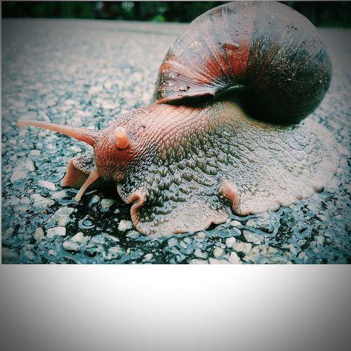 Siputkeong Snails Snailshell Snail ❤ Jogging Walking Around crawling in the rain