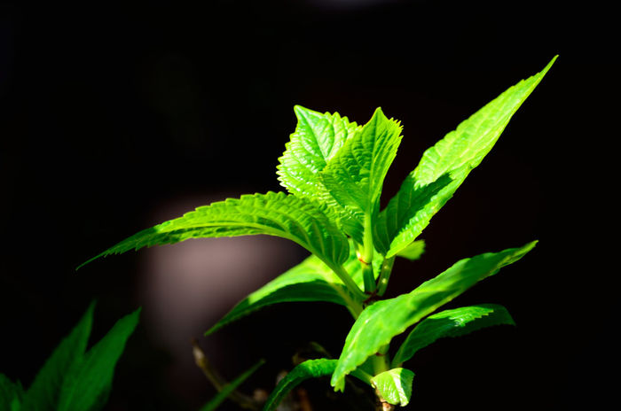 Beauty In Nature Black Background Close-up Focus On Foreground Foliage Foliage Plant Freshness Green Green Green Color Green Color Green Green Green!  Green Leaves Growing Growth Leaf Leaf Vein Leaves Leaves Only Leaves Leaves_collection Leavesporn Nature New Life Plant Stem