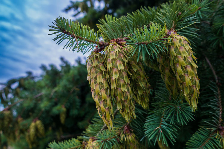 Beauty In Nature Branch Close-up Coniferous Tree Day Focus On Foreground Green Color Growth Leaf Low Angle View Nature Needle - Plant Part No People Outdoors Pinaceae Pine Cone Pine Tree Plant Plant Part Spiky Tranquility Tree