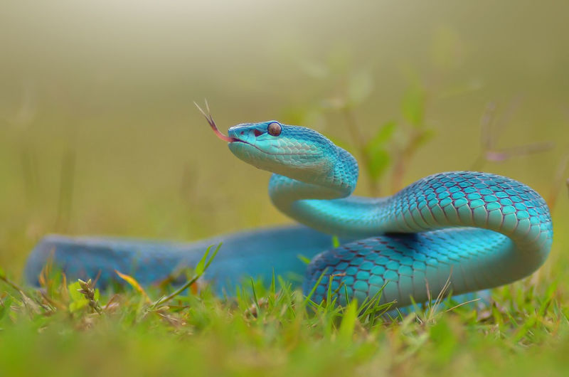 Close-up of turquoise snake on grassy field
