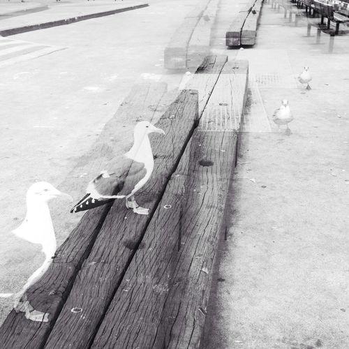 Blk N Wht Double Exposure Sea Gull Bw_collection