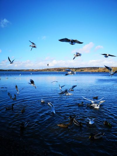 birds Bird Spread Wings Water Flying Flock Of Birds Colony Seagull Flapping Freshwater Bird Water Bird White Swan Duck