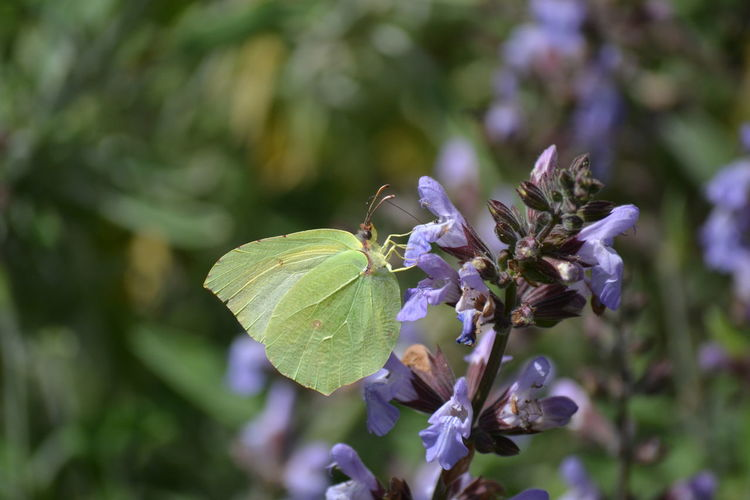 EyeEmAnimalLover EyeEmBestPics Picoftheday Yellow Yellow Butterfly Salvia Flowers Flower Butterfly - Insect Insect Close-up Animal Themes Plant Spread Wings Blooming In Bloom Flower Head Symbiotic Relationship