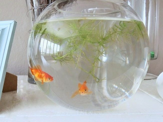 Always keep on swimming Goldfish Fishbowl Fish Water Animal Themes Pets Fishing Close-up