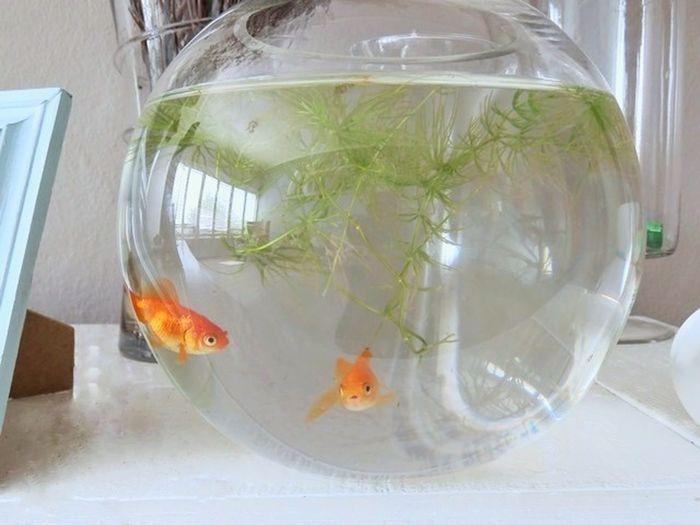 Always keep on swimming Goldfish Fishbowl Fish Water Animal Themes Pets Fishing Close-up