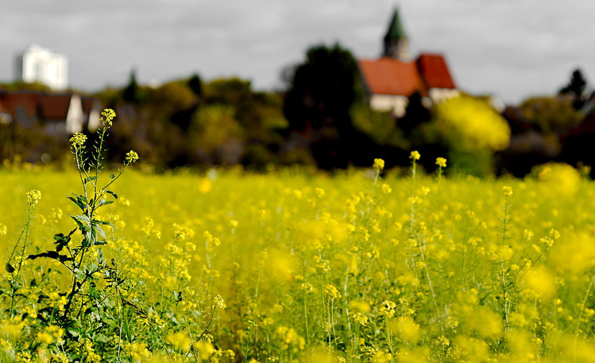 Fresh Yellow Flowers In Field