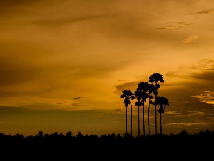 Silhouette of tree and sugar palm tree when sunset view. Palm Sugar Palm Tree Beauty In Nature Cloud - Sky Nature No People Orange Color Outdoors Plant Scenics - Nature Silhouette Sky Sugar Palm Sunset Tranquil Scene Tranquility Tree