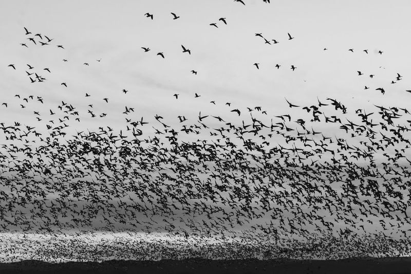 Flying Large Group Of Animals Flock Of Birds Bird Animal Themes Animals In The Wild Migrating Animal Wildlife No People Outdoors Day Sky Togetherness Nature Motion Black & White Pattern, Texture, Shape And Form Rural Poetry Be. Ready.