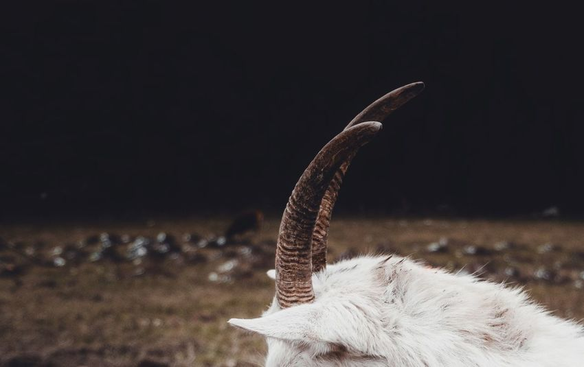 - HEADDRESS - Check This Out Matte Goat Nature Animal Photography Animal One Animal Animals In The Wild No People Animal Themes Close-up Animal Wildlife Nature Day