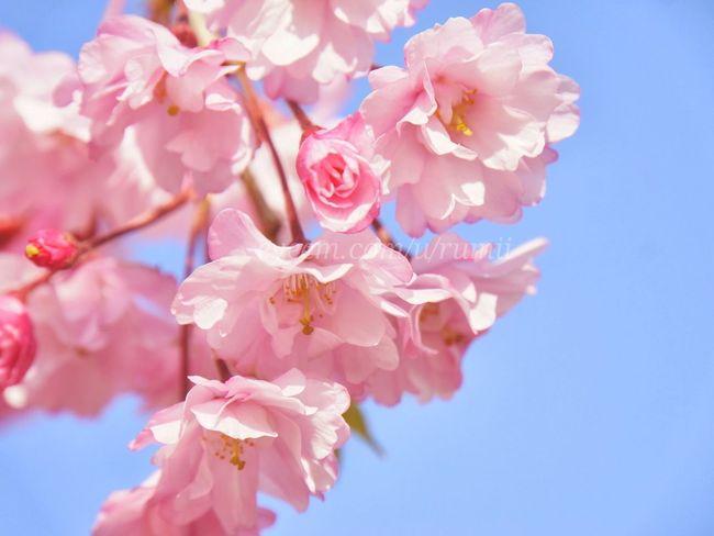 Double flowering cherry blossoms EyeEm Nature Lover Flower Collection Macro Flower Flowerporn