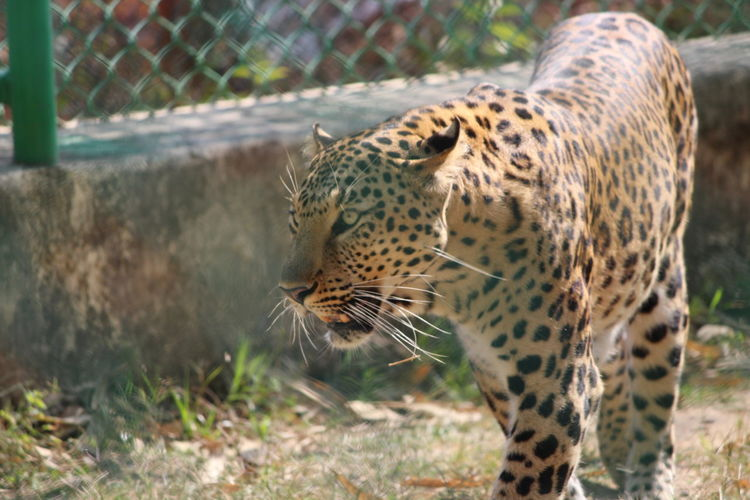 One Animal Animal Themes Leopard Outdoors No People Grass Animals In The Wild Animal Wildlife Day Feline Mammal Close-up Nature In The Wild Bound To Be Free Power Roar Watch Me Walking