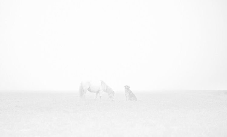 Foggy Weather 🌫 Fog Foggy Morning Day Horse Winter Outdoors Landscape Cold Temperature Beauty In Nature Field Wintertime EyeEmNewHere Creativity Germanshepherd Nikon Creating The Netherlands Dogphotography Horse Photography  White White Background Whitehorse Minimalism Grey