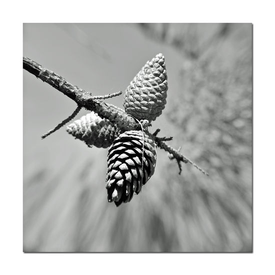 Cones and Nuts 2 Don Castro Park Hayward, CA Loblolly Pine Pinis Taeda Conifer  Evergreens Nature Beauty In Nature Nature_collection Nature Photography Botany Pine Cone Close-up Trees Branch Monochrome Photograhy Pinched Black & White Black And White Photography Black And White Black And White Collection  Monochrome Grayscale