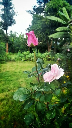 Pink Rose Flower Nairobi Kenya Flowers, Nature And Beauty Nature_collection Naturephotography