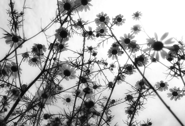 Balck And White Beauty In Nature Blooming Botany Chamomile Close-up Day Flower Flower Head Fragility Freshness Garden Photography Gardens Growing Black And White Friday In Bloom Kamilla  Nature No People Outdoors Petal Plant Spring Flowers Springtime Tranquility
