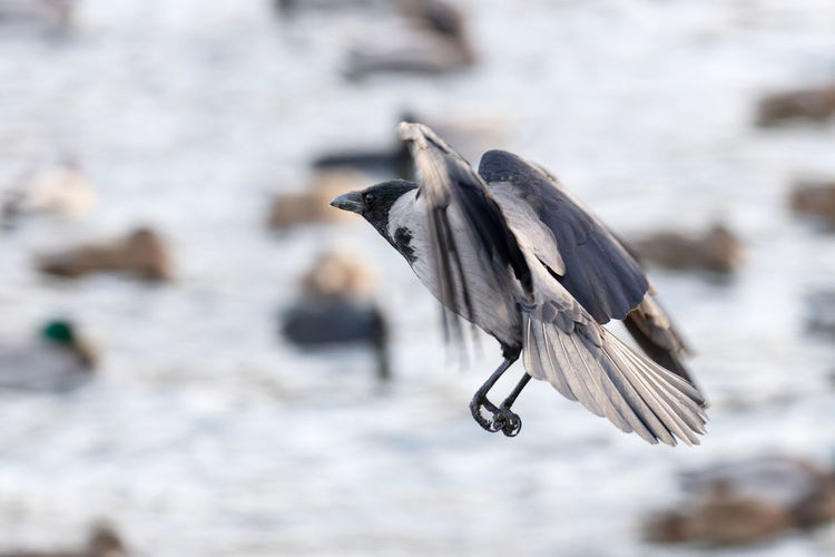 crow in mid air Animal Themes Land Full Length Side View Spread Wings Outdoors Selective Focus Flying Nature Close-up Day No People Focus On Foreground One Animal Vertebrate Animal Wildlife Animal Animals In The Wild Bird Crow Urban Wildlife