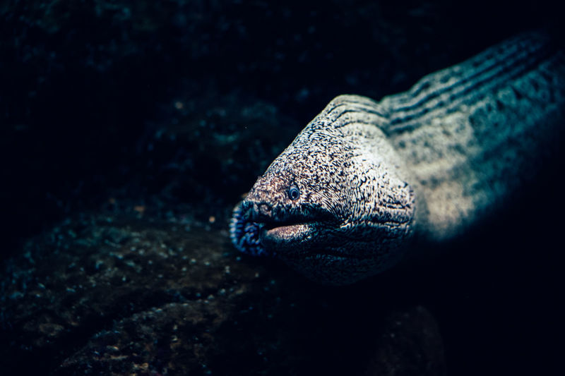 Close-up of moray eel swimming in tank at aquarium