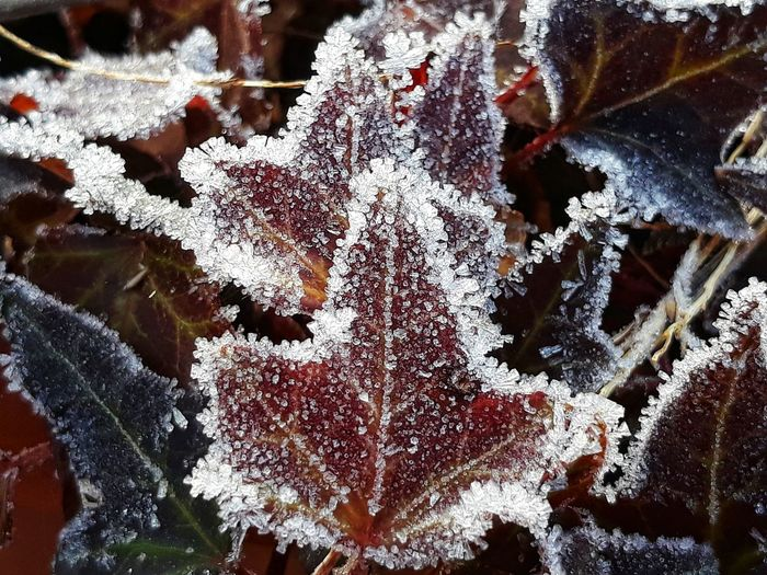 Frost Frosty Frosty Mornings Frosted Leaves Frosted Nature Leaves Leaves 🍁 Leaves Photography Winter Wintertime Nature Naturelovers Beauty Of Nature Beauties Of Nature Foglie Brina Gelo Thank You My Friends 😊 Eyem Eyem Gallery EyEm Selects Eyem Nature Eyem Nature Lovers  Eyemphotography Eyem4photography Close-up