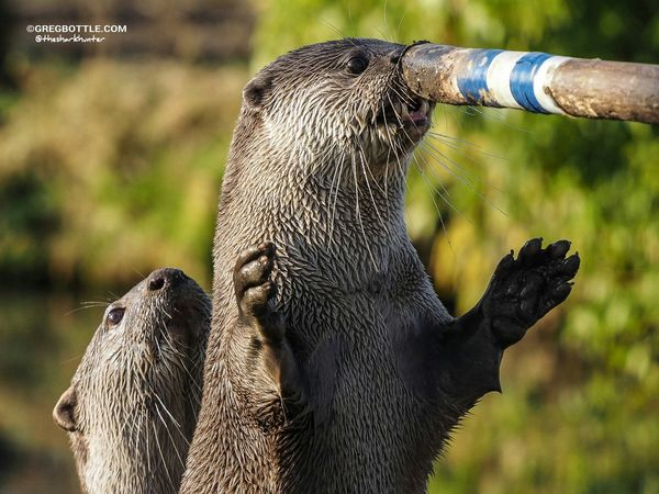 Two otters playing touch Wildlife Wingham Wildlife Park Wildlife Photography Otters
