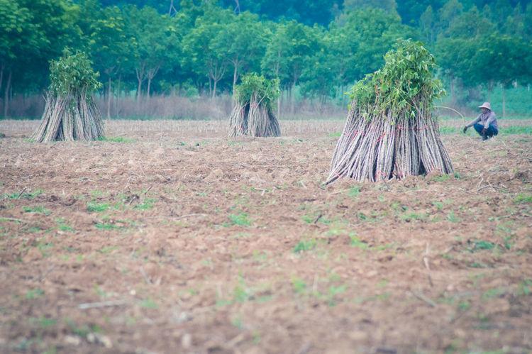 Cassava Cassava Farm Day Field Forest Group Of Animals Land Landscape Nature No People Outdoors Plant Scenics - Nature Selective Focus Tree Vertebrate